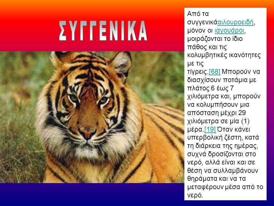Από τα συγγενικάαιλουροειδή, μόνον οι ιαγουάροι, μοιράζονται το ίδιο πάθος και τις κολυμβητικές ικανότητες με τις τίγρεις.[68] Μπορούν να διασχίσουν π