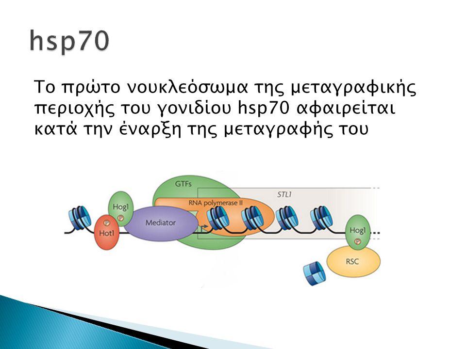 Το πρώτο νουκλεόσωμα της μεταγραφικής περιοχής του γονιδίου hsp70 αφαιρείται κατά την έναρξη της μεταγραφής του