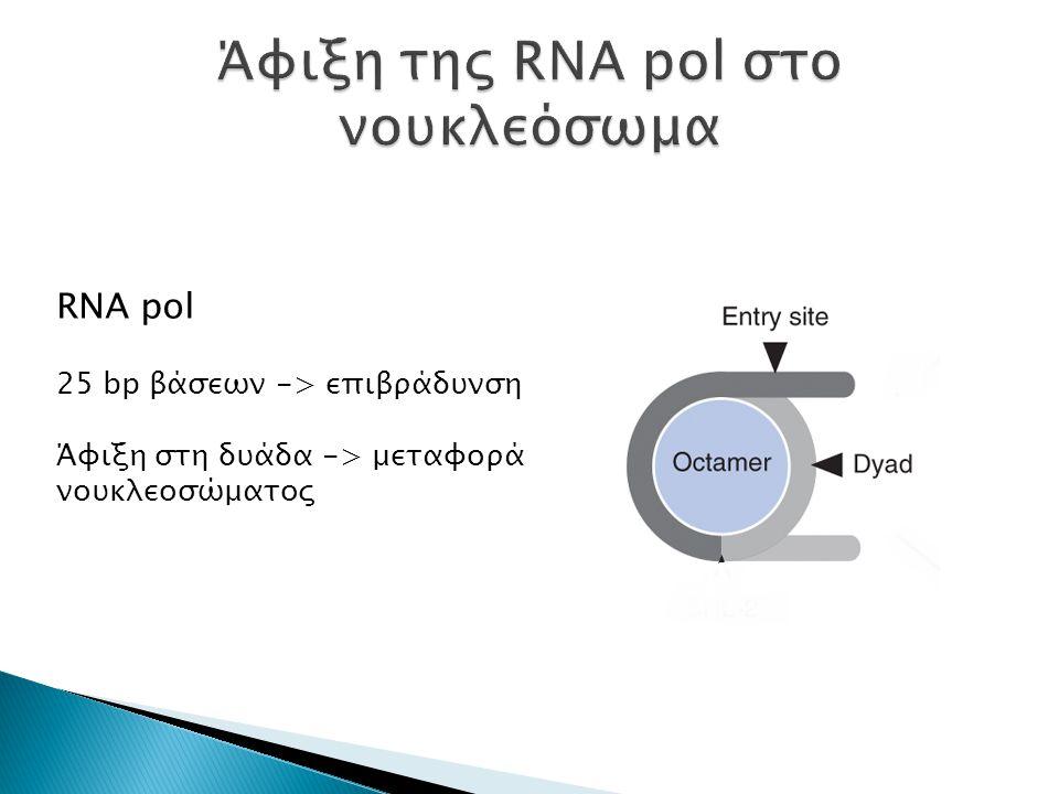 RNA pol 25 bp βάσεων -> επιβράδυνση Άφιξη στη δυάδα -> μεταφορά νουκλεοσώματος