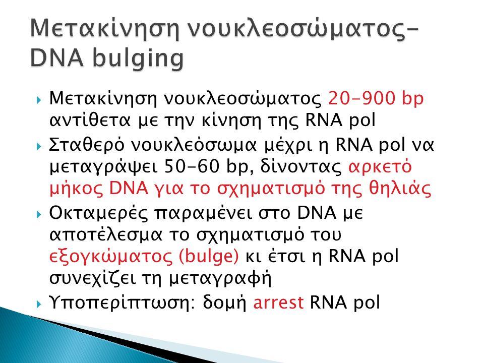  Μετακίνηση νουκλεοσώματος 20-900 bp αντίθετα με την κίνηση της RNA pol  Σταθερό νουκλεόσωμα μέχρι η RNA pol να μεταγράψει 50-60 bp, δίνοντας αρκετό μήκος DNA για το σχηματισμό της θηλιάς  Οκταμερές παραμένει στο DNA με αποτέλεσμα το σχηματισμό του εξογκώματος (bulge) κι έτσι η RNA pol συνεχίζει τη μεταγραφή  Υποπερίπτωση: δομή arrest RNA pol