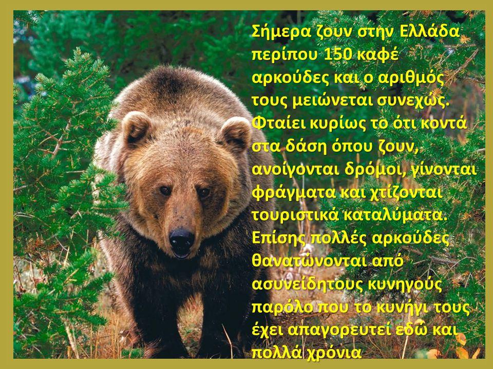Σήμερα ζουν στην Ελλάδα περίπου 150 καφέ αρκούδες και ο αριθμός τους μειώνεται συνεχώς. Φταίει κυρίως το ότι κοντά στα δάση όπου ζουν, ανοίγονται δρόμ