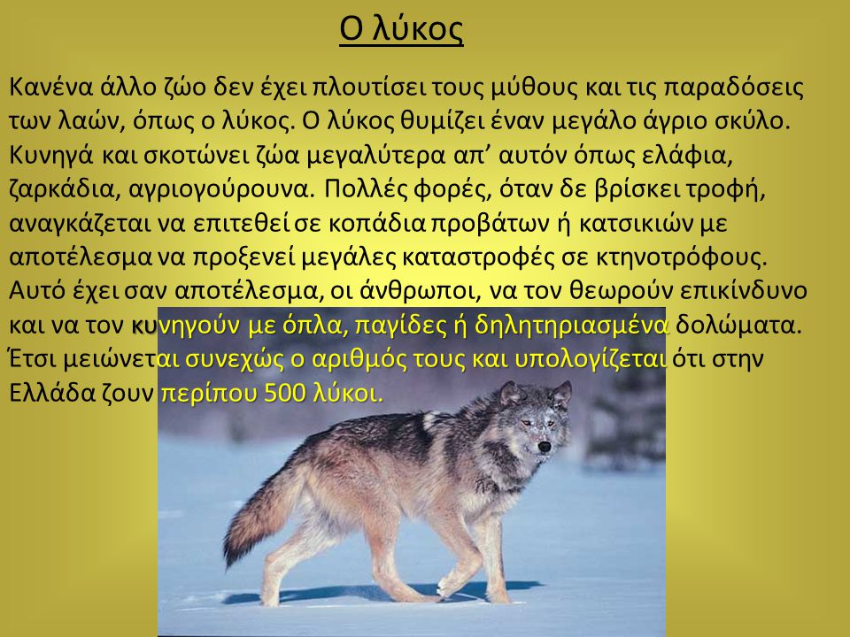 Ο λύκος Κανένα άλλο ζώο δεν έχει πλουτίσει τους μύθους και τις παραδόσεις των λαών, όπως ο λύκος. Ο λύκος θυμίζει έναν μεγάλο άγριο σκύλο. Κυνηγά και