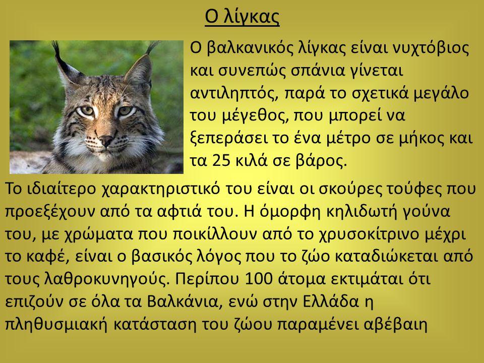 Ο λίγκας Ο βαλκανικός λίγκας είναι νυχτόβιος και συνεπώς σπάνια γίνεται αντιληπτός, παρά το σχετικά μεγάλο του μέγεθος, που μπορεί να ξεπεράσει το ένα
