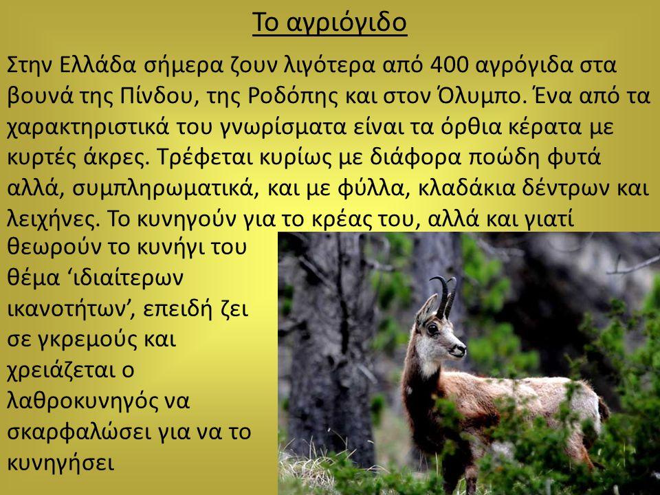 Το αγριόγιδο Στην Ελλάδα σήμερα ζουν λιγότερα από 400 αγρόγιδα στα βουνά της Πίνδου, της Ροδόπης και στον Όλυμπο. Ένα από τα χαρακτηριστικά του γνωρίσ