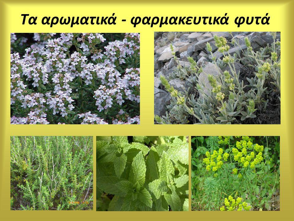 Τα αρωματικά - φαρμακευτικά φυτά