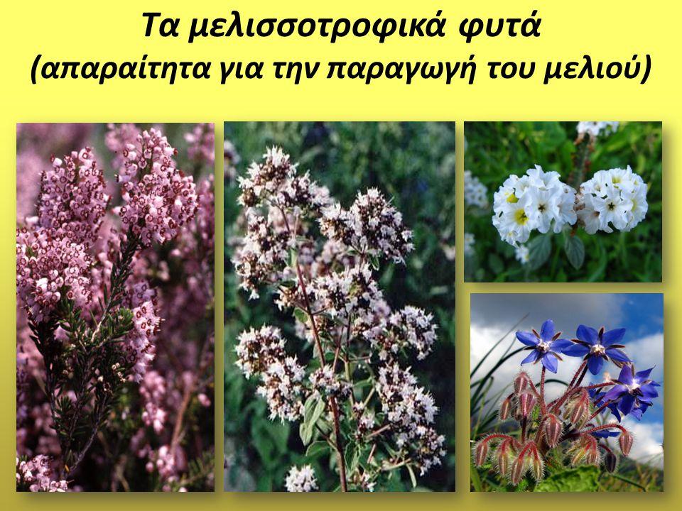Τα μελισσοτροφικά φυτά (απαραίτητα για την παραγωγή του μελιού)