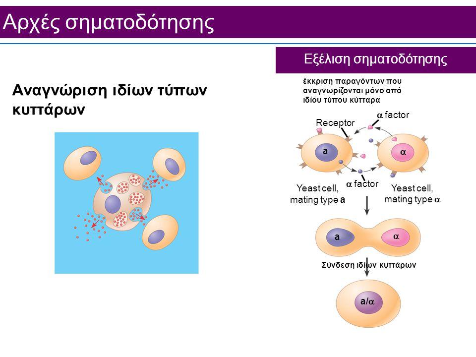 Aρχές σηματοδότησης Εξέλιση σηματοδότησης Αναγνώριση ιδίων τύπων κυττάρων  factor Receptor έκκριση παραγόντων που αναγνωρίζονται μόνο από ιδίου τύπου κύτταρα Σύνδεση ιδίων κυττάρων  factor Yeast cell, mating type a Yeast cell, mating type    a/  a a