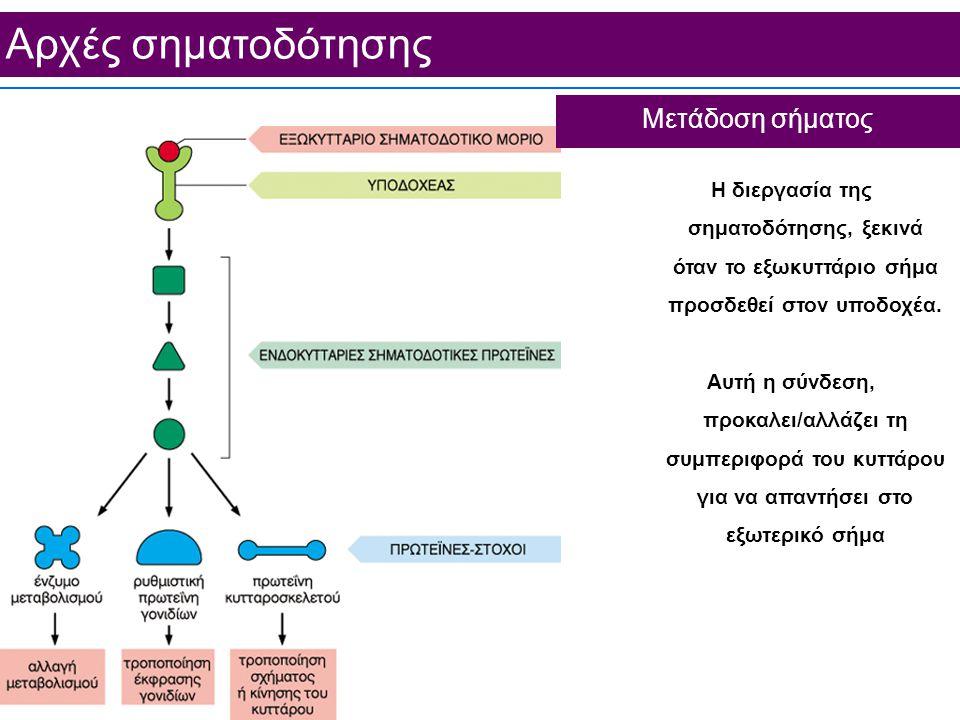 Aρχές σηματοδότησης Μετάδοση σήματος Η διεργασία της σηματοδότησης, ξεκινά όταν το εξωκυττάριο σήμα προσδεθεί στον υποδοχέα.