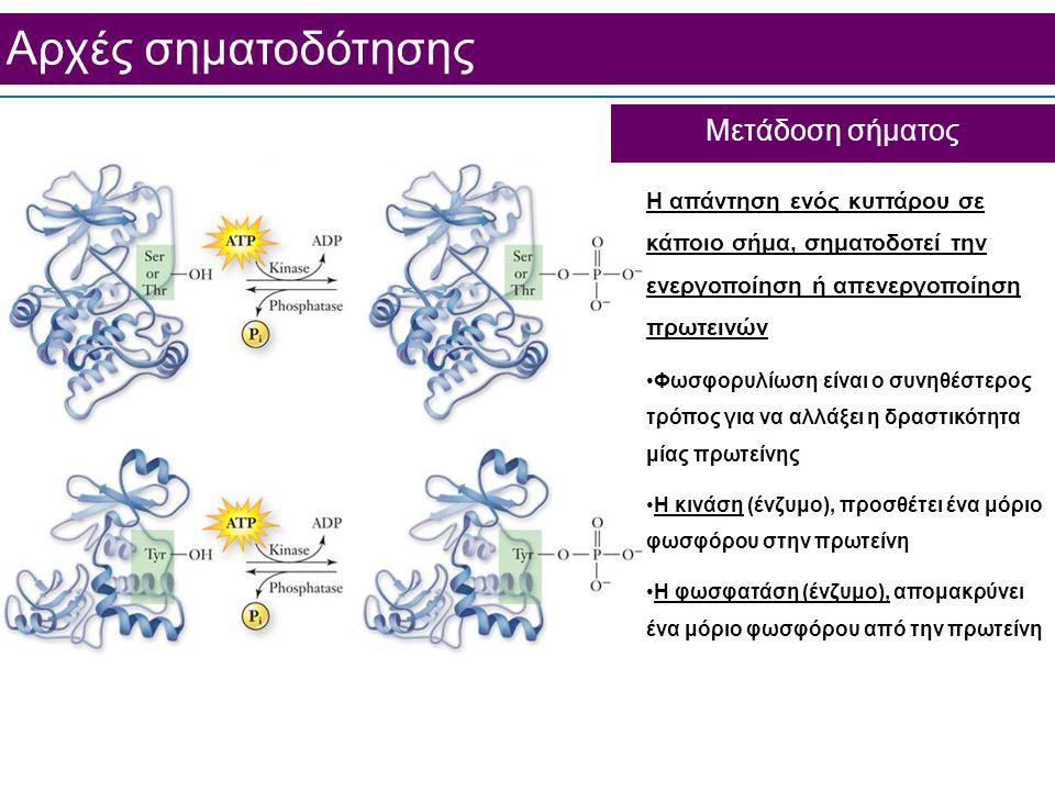 Aρχές σηματοδότησης Μετάδοση σήματος Η απάντηση ενός κυττάρου σε κάποιο σήμα, σηματοδοτεί την ενεργοποίηση ή απενεργοποίηση πρωτεινών Φωσφορυλίωση είναι ο συνηθέστερος τρόπος για να αλλάξει η δραστικότητα μίας πρωτείνης Η κινάση (ένζυμο), προσθέτει ένα μόριο φωσφόρου στην πρωτείνη Η φωσφατάση (ένζυμο), απομακρύνει ένα μόριο φωσφόρου από την πρωτείνη