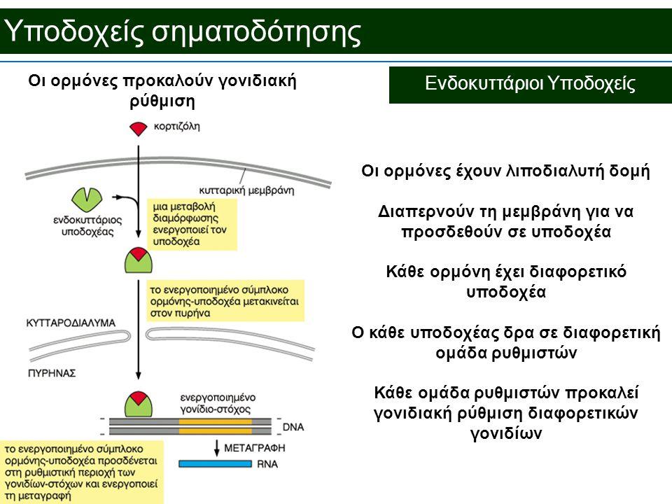Υποδοχείς σηματοδότησης Ενδοκυττάριοι Υποδοχείς Οι ορμόνες προκαλούν γονιδιακή ρύθμιση Οι ορμόνες έχουν λιποδιαλυτή δομή Διαπερνούν τη μεμβράνη για να προσδεθούν σε υποδοχέα Κάθε ορμόνη έχει διαφορετικό υποδοχέα Ο κάθε υποδοχέας δρα σε διαφορετική ομάδα ρυθμιστών Κάθε ομάδα ρυθμιστών προκαλεί γονιδιακή ρύθμιση διαφορετικών γονιδίων