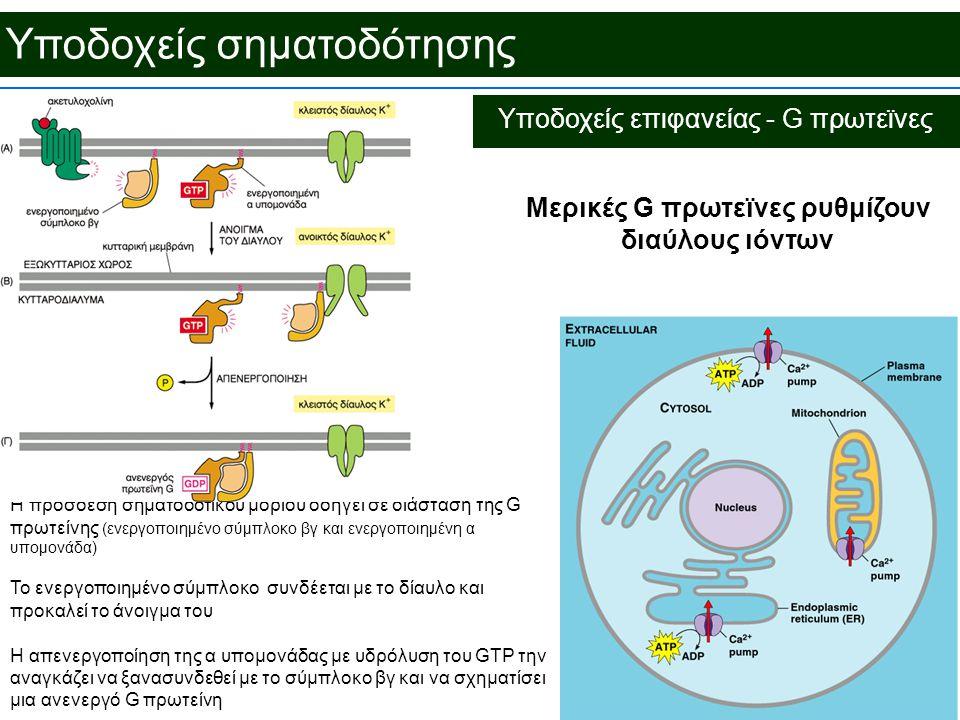 Υποδοχείς σηματοδότησης Μερικές G πρωτεϊνες ρυθμίζουν διαύλους ιόντων Η πρόσδεση σηματοδοτικού μορίου οδηγεί σε διάσταση της G πρωτείνης (ενεργοποιημένο σύμπλοκο βγ και ενεργοποιημένη α υπομονάδα) Το ενεργοποιημένο σύμπλοκο συνδέεται με το δίαυλο και προκαλεί το άνοιγμα του Η απενεργοποίηση της α υπομονάδας με υδρόλυση του GTP την αναγκάζει να ξανασυνδεθεί με το σύμπλοκο βγ και να σχηματίσει μια ανενεργό G πρωτείνη Υποδοχείς επιφανείας - G πρωτεϊνες