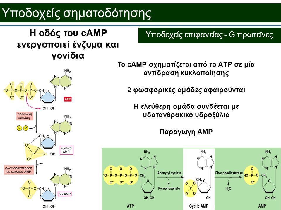 Υποδοχείς σηματοδότησης Η οδός του cAMP ενεργοποιεί ένζυμα και γονίδια Το cAMP σχηματίζεται από το ΑTP σε μία αντίδραση κυκλοποίησης 2 φωσφορικές ομάδες αφαιρούνται Η ελεύθερη ομάδα συνδέεται με υδατανθρακικό υδροξύλιο Παραγωγή AMP Υποδοχείς επιφανείας - G πρωτεϊνες
