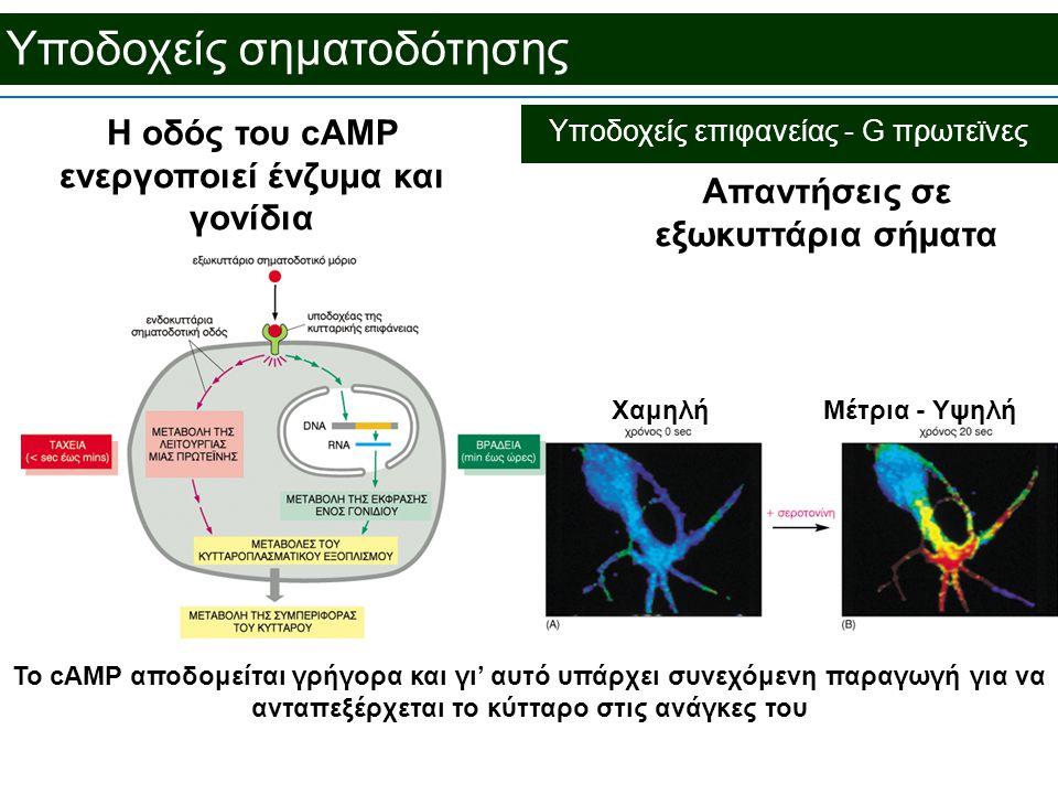 Υποδοχείς σηματοδότησης Απαντήσεις σε εξωκυττάρια σήματα Το cAMP αποδομείται γρήγορα και γι' αυτό υπάρχει συνεχόμενη παραγωγή για να ανταπεξέρχεται το κύτταρο στις ανάγκες του ΧαμηλήΜέτρια - Υψηλή Η οδός του cAMP ενεργοποιεί ένζυμα και γονίδια Υποδοχείς επιφανείας - G πρωτεϊνες