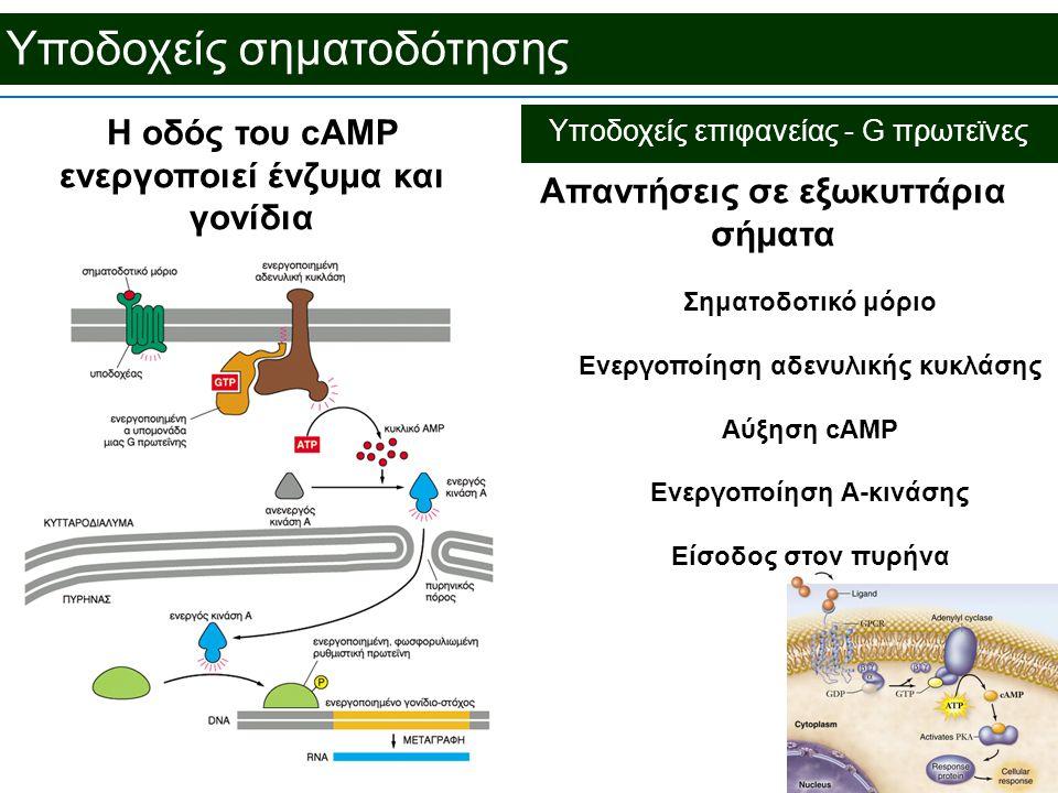 Υποδοχείς σηματοδότησης Απαντήσεις σε εξωκυττάρια σήματα Σηματοδοτικό μόριο Ενεργοποίηση αδενυλικής κυκλάσης Αύξηση cAMP Ενεργοποίηση Α-κινάσης Είσοδος στον πυρήνα Η οδός του cAMP ενεργοποιεί ένζυμα και γονίδια Υποδοχείς επιφανείας - G πρωτεϊνες
