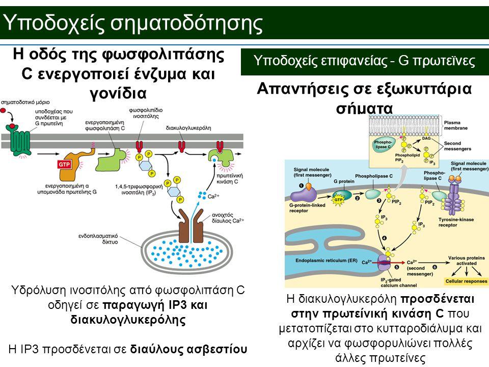 Υποδοχείς σηματοδότησης Απαντήσεις σε εξωκυττάρια σήματα Η οδός της φωσφολιπάσης C ενεργοποιεί ένζυμα και γονίδια Η διακυλογλυκερόλη προσδένεται στην πρωτείνική κινάση C που μετατοπίζεται στο κυτταροδιάλυμα και αρχίζει να φωσφορυλιώνει πολλές άλλες πρωτείνες Υποδοχείς επιφανείας - G πρωτεϊνες Υδρόλυση ινοσιτόλης από φωσφολιπάση C οδηγεί σε παραγωγή IP3 και διακυλογλυκερόλης Η IP3 προσδένεται σε διαύλους ασβεστίου