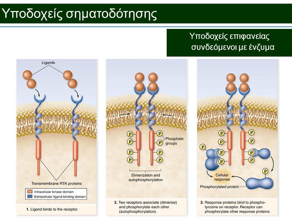 Υποδοχείς σηματοδότησης Υποδοχείς επιφανείας συνδεόμενοι με ένζυμα