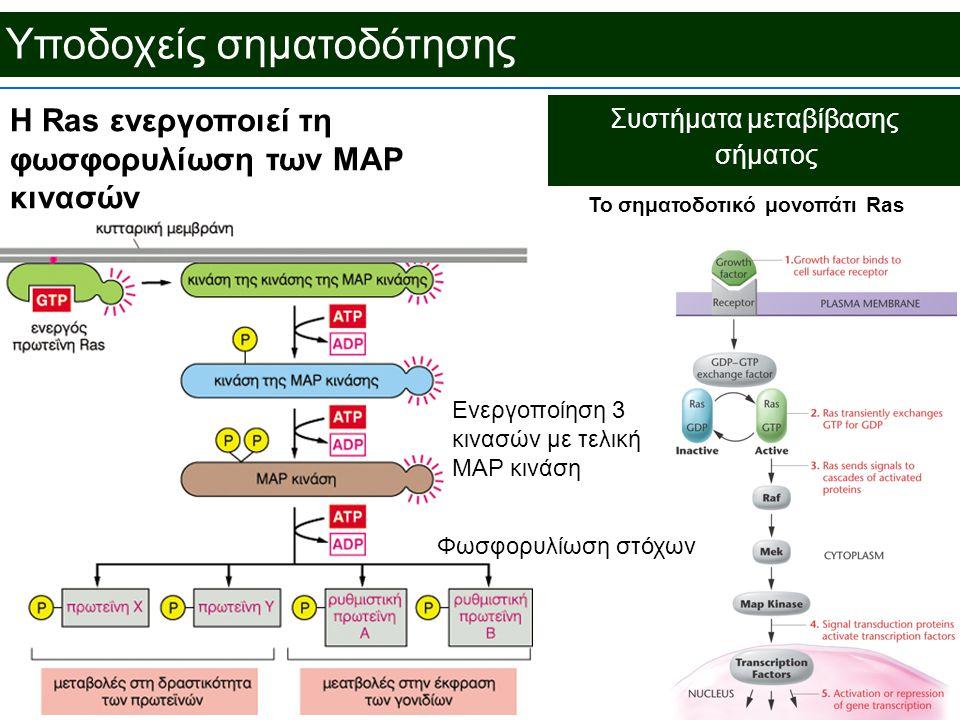 Υποδοχείς σηματοδότησης Συστήματα μεταβίβασης σήματος To σηματοδοτικό μονοπάτι Ras Η Ras ενεργοποιεί τη φωσφορυλίωση των MAP κινασών Ενεργοποίηση 3 κινασών με τελική MAP κινάση Φωσφορυλίωση στόχων