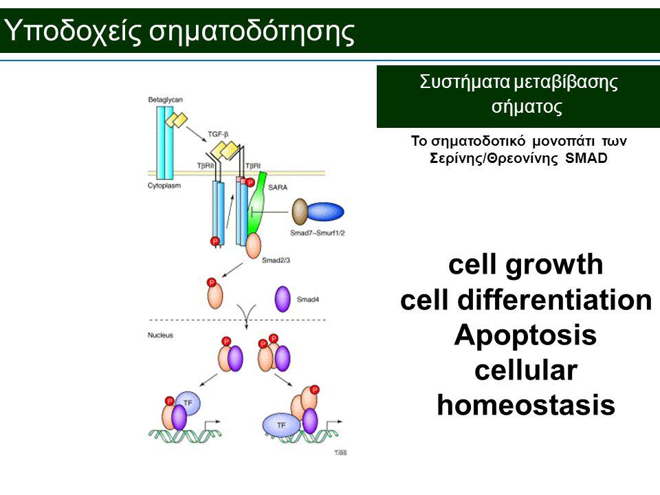 Υποδοχείς σηματοδότησης Συστήματα μεταβίβασης σήματος To σηματοδοτικό μονοπάτι των Σερίνης/Θρεονίνης SMAD cell growth cell differentiation Apoptosis cellular homeostasis