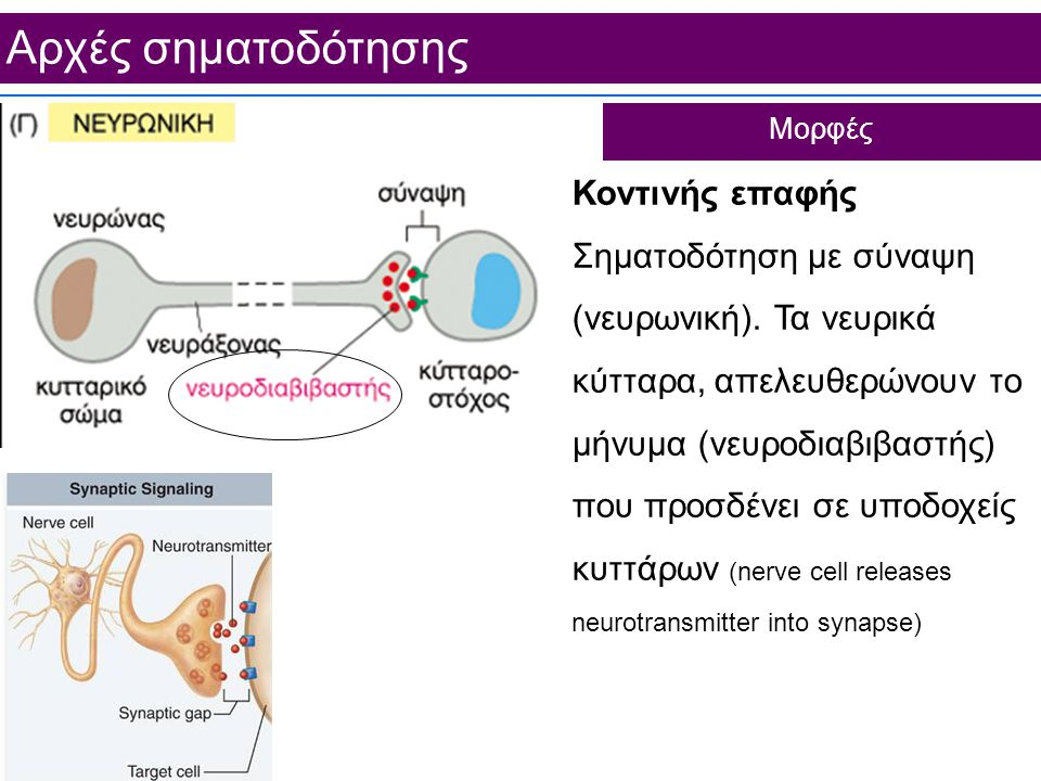 Aρχές σηματοδότησης Κοντινής επαφής Σηματοδότηση με σύναψη (νευρωνική).