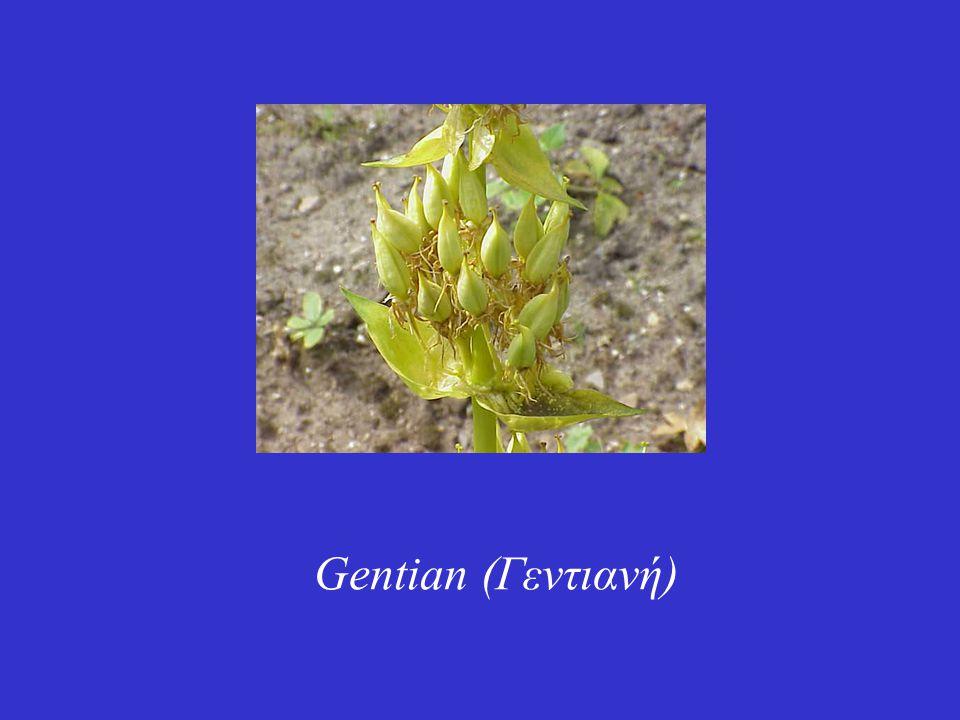Gentian (Γεντιανή)