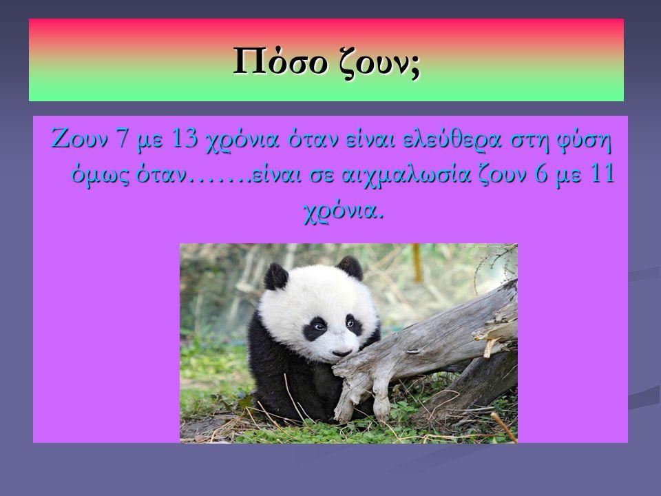 Πόσο ζουν; Ζουν 7 με 13 χρόνια όταν είναι ελεύθερα στη φύση όμως όταν…….είναι σε αιχμαλωσία ζουν 6 με 11 χρόνια.