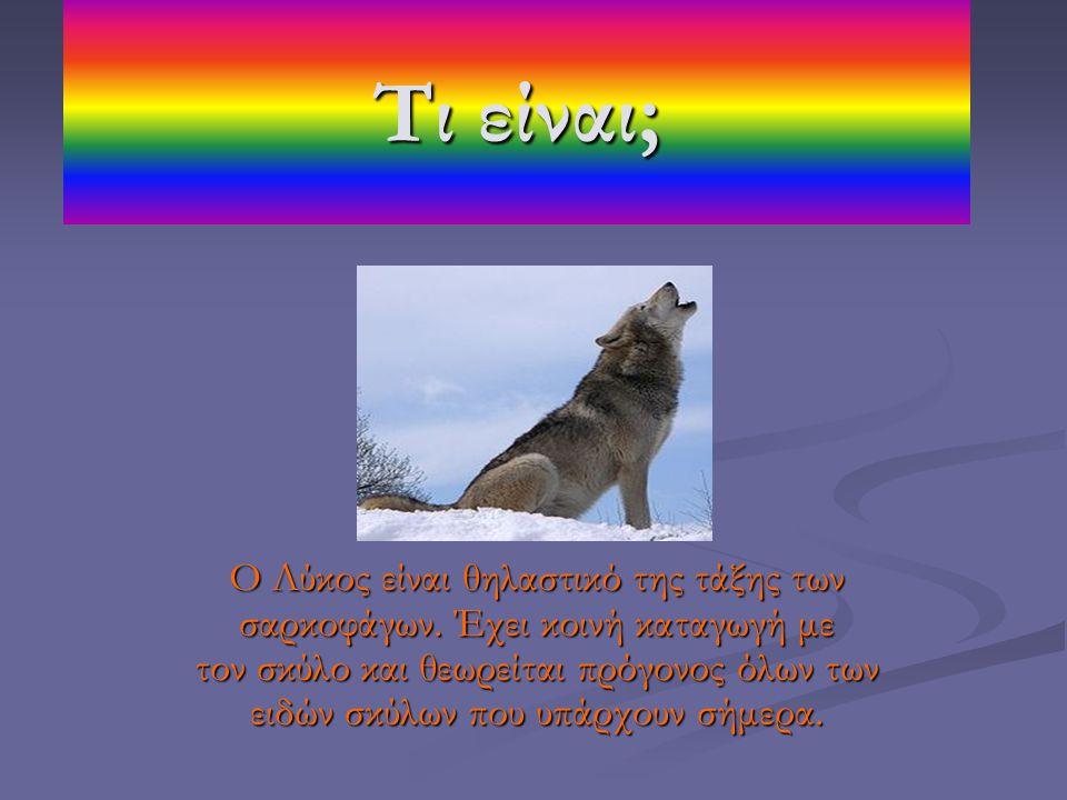 Τι είναι; Ο Λύκος είναι θηλαστικό της τάξης των σαρκοφάγων. Έχει κοινή καταγωγή με τον σκύλο και θεωρείται πρόγονος όλων των ειδών σκύλων που υπάρχουν