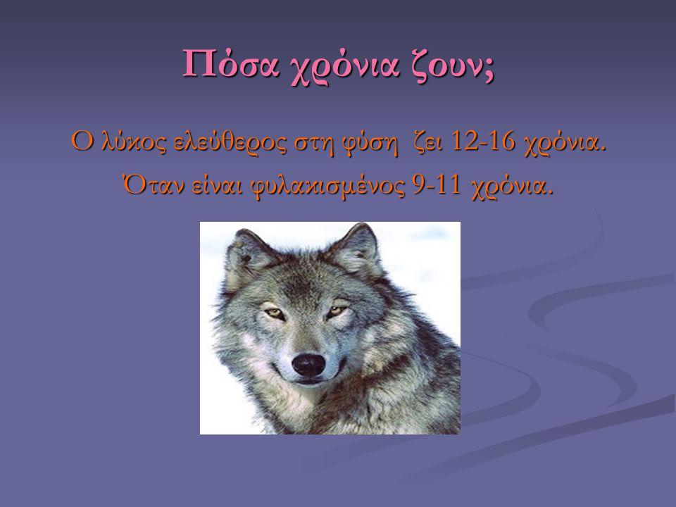 Πόσα χρόνια ζουν; Ο λύκος ελεύθερος στη φύση ζει 12-16 χρόνια. Όταν είναι φυλακισμένος 9-11 χρόνια.