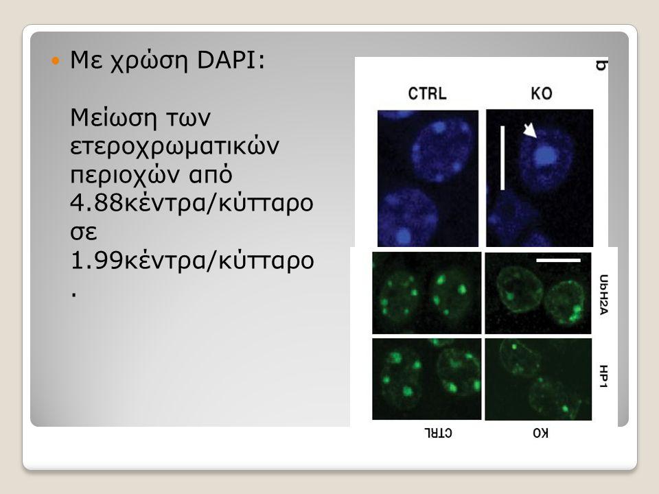 Με χρώση DAPI: Μείωση των ετεροχρωματικών περιοχών από 4.88κέντρα/κύτταρο σε 1.99κέντρα/κύτταρο.