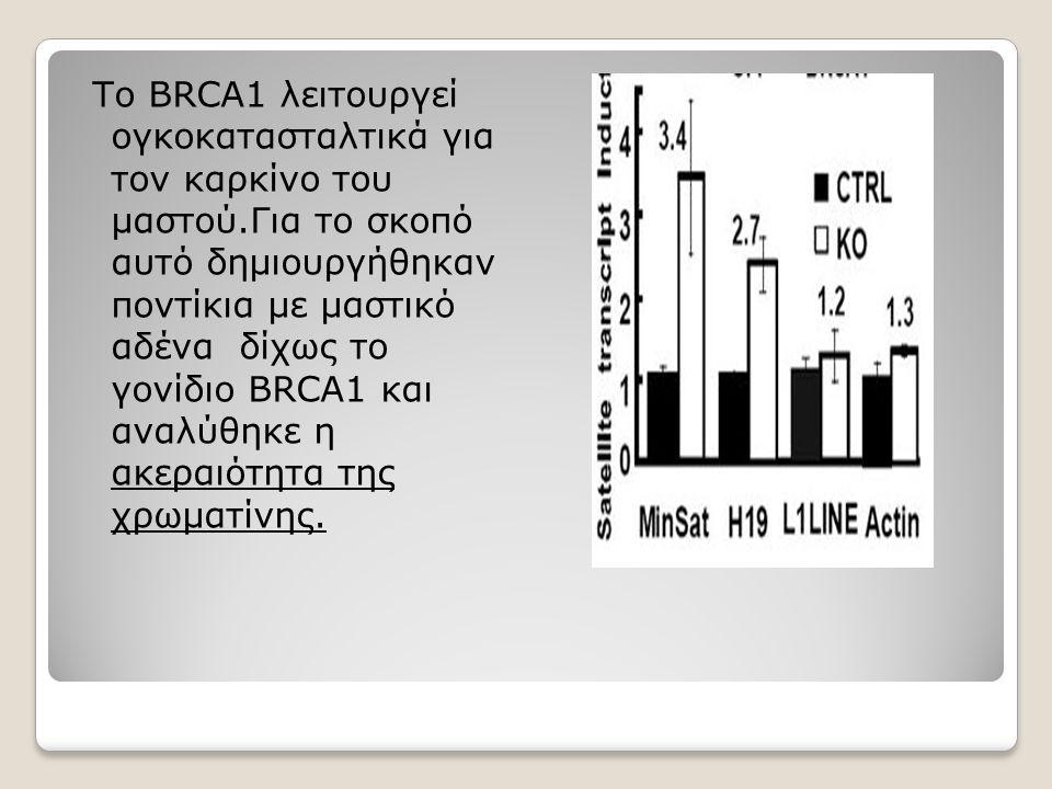 Το BRCA1 λειτουργεί ογκοκατασταλτικά για τον καρκίνο του μαστού.Για το σκοπό αυτό δημιουργήθηκαν ποντίκια με μαστικό αδένα δίχως το γονίδιο BRCA1 και