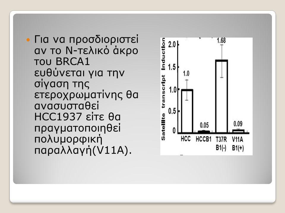 Για να προσδιοριστεί αν το Ν-τελικό άκρο του BRCA1 ευθύνεται για την σίγαση της ετεροχρωματίνης θα ανασυσταθεί HCC1937 είτε θα πραγματοποιηθεί πολυμορ