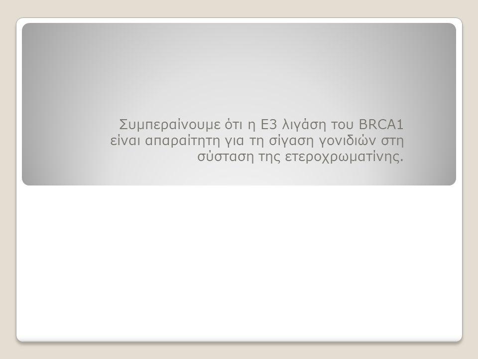 Συμπεραίνουμε ότι η Ε3 λιγάση του BRCA1 είναι απαραίτητη για τη σίγαση γονιδιών στη σύσταση της ετεροχρωματίνης.