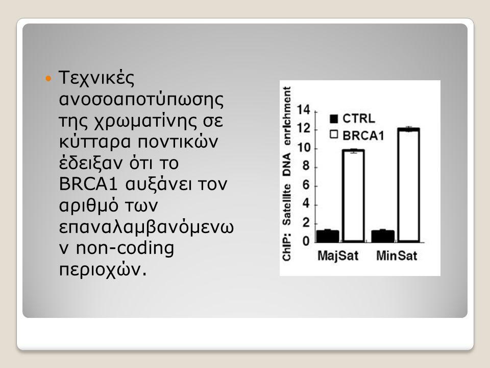Τεχνικές ανοσοαποτύπωσης της χρωματίνης σε κύτταρα ποντικών έδειξαν ότι το BRCA1 αυξάνει τον αριθμό των επαναλαμβανόμενω ν non-coding περιοχών.
