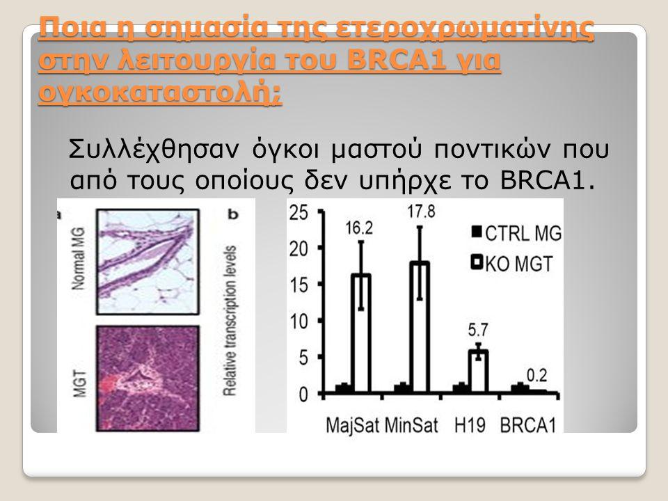 Ποια η σημασία της ετεροχρωματίνης στην λειτουργία του BRCA1 για ογκοκαταστολή; Συλλέχθησαν όγκοι μαστού ποντικών που από τους οποίους δεν υπήρχε το B