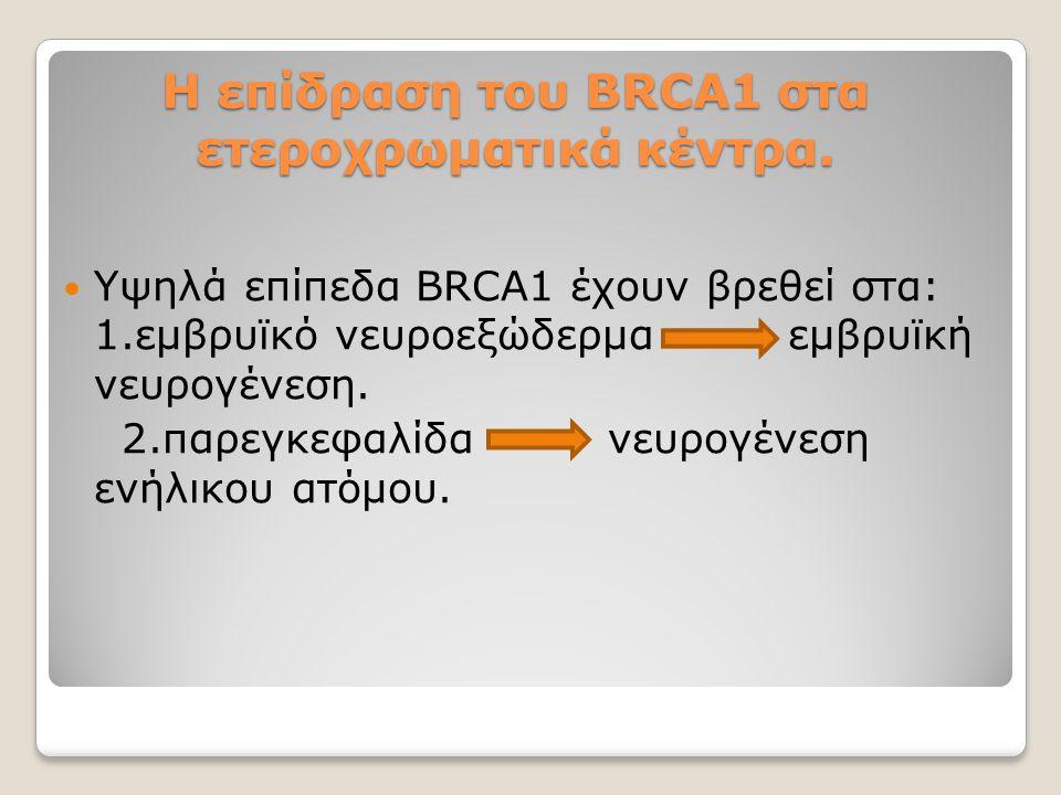Η επίδραση του BRCA1 στα ετεροχρωματικά κέντρα. Υψηλά επίπεδα BRCA1 έχουν βρεθεί στα: 1.εμβρυϊκό νευροεξώδερμα εμβρυϊκή νευρογένεση. 2.παρεγκεφαλίδα ν