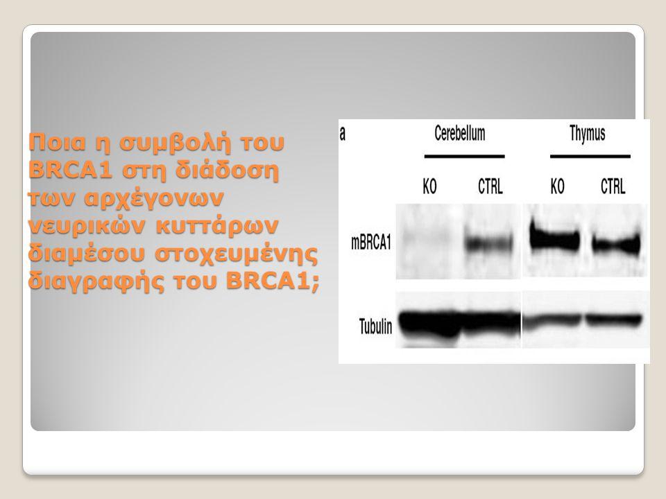 Ποια η συμβολή του BRCA1 στη διάδοση των αρχέγονων νευρικών κυττάρων διαμέσου στοχευμένης διαγραφής του BRCA1;