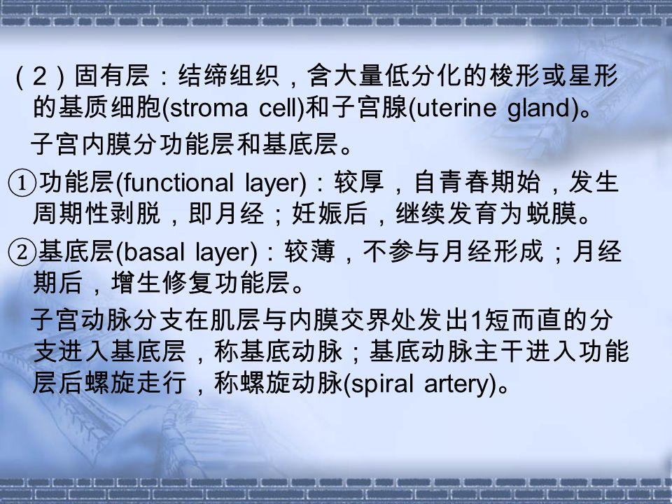 ( 2 )固有层:结缔组织,含大量低分化的梭形或星形 的基质细胞 (stroma cell) 和子宫腺 (uterine gland) 。 子宫内膜分功能层和基底层。 ①功能层 (functional layer) :较厚,自青春期始,发生 周期性剥脱,即月经;妊娠后,继续发育为蜕膜。 ②基底层 (basal layer) :较薄,不参与月经形成;月经 期后,增生修复功能层。 子宫动脉分支在肌层与内膜交界处发出 1 短而直的分 支进入基底层,称基底动脉;基底动脉主干进入功能 层后螺旋走行,称螺旋动脉 (spiral artery) 。