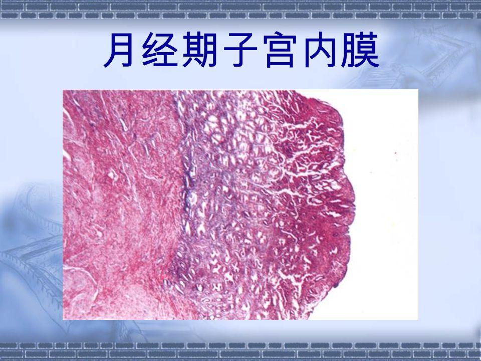 月经期子宫内膜