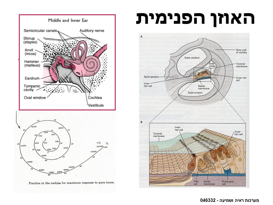 מערכות ראיה ושמיעה - 046332 האוזן הפנימית