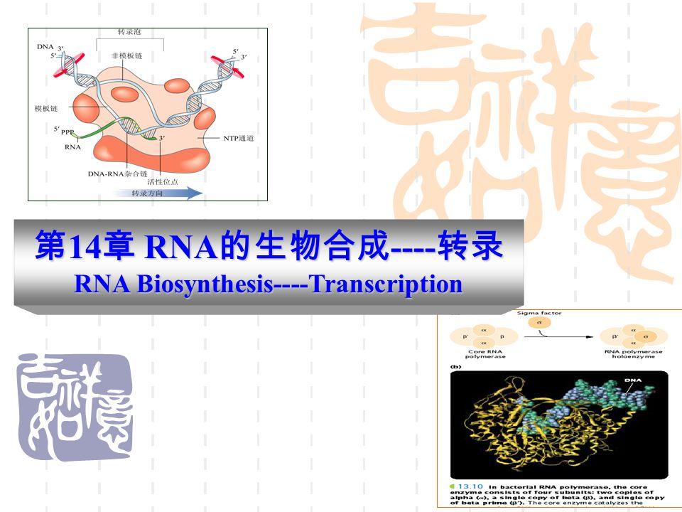 4.1 转录开始 由 σ 因子辨认并且结合到启动子上,局部解链( 10-20bp ),拓 朴异构酶等也参与。 4.2 RNA 链的延伸 由核心酶催化,以其中的一股 DNA 单链作为模板链,以 NTP 为 原料,按照碱基互补配对的原则,通常是由 5'ppp 嘌呤核苷( G 或 A )开头向着 3' 方向延长多核苷酸链,合成开始后, σ 因子从模板 上脱离下来(可以重复利用)。 核心酶覆盖双链 DNA 和 RNA 复合物,向前推进,一边解开螺旋, 一边释放出新合成的 RNA 链,后面已经转录的区域中分开的 DNA 链又重新形成双螺旋。 4 转录过程及其特点