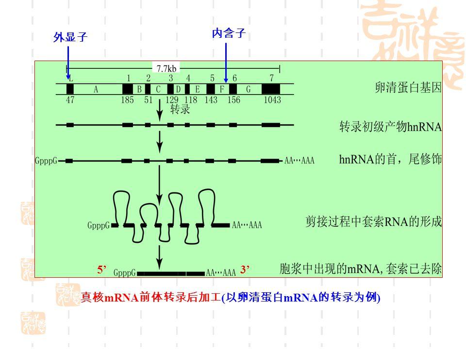 真核 mRNA 前体转录后加工 ( 以卵清蛋白 mRNA 的转录为例 ) 外显子 内含子 5' 3'