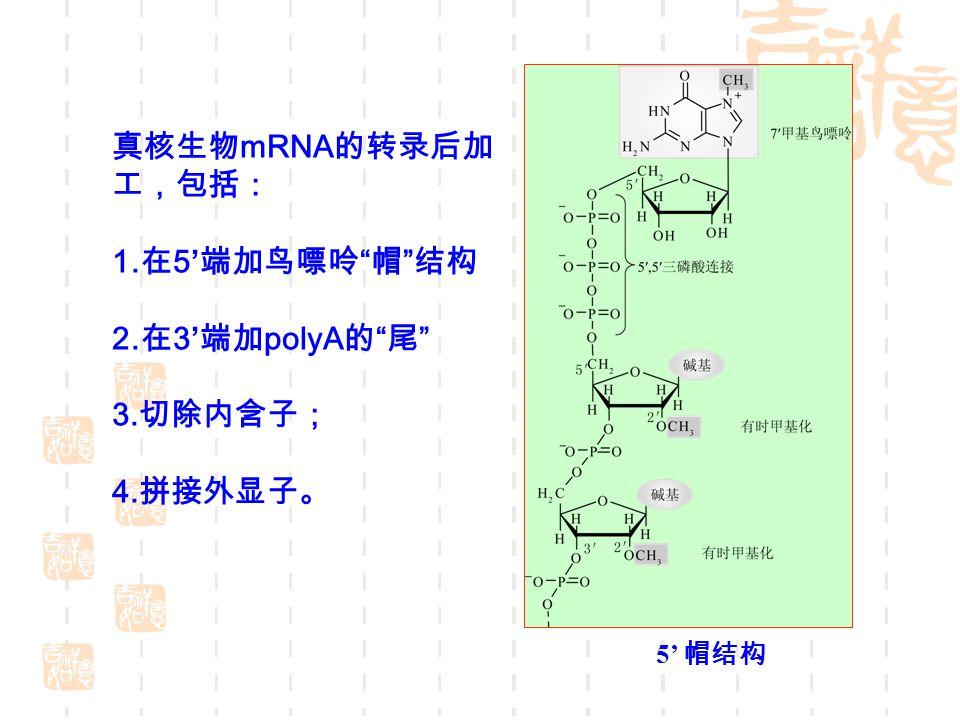 真核生物 mRNA 的转录后加 工,包括: 1. 在 5' 端加鸟嘌呤 帽 结构 2. 在 3' 端加 polyA 的 尾 3. 切除内含子; 4. 拼接外显子。 5' 帽结构