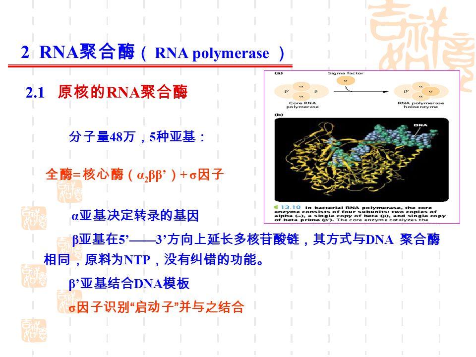 分子量 48 万, 5 种亚基: 全酶 = 核心酶( α 2 ββ' ) + σ 因子 α 亚基决定转录的基因 β 亚基在 5'——3' 方向上延长多核苷酸链,其方式与 DNA 聚合酶 相同,原料为 NTP ,没有纠错的功能。 β' 亚基结合 DNA 模板 σ 因子识别 启动子 并与之结合 2 RNA 聚合酶 ( RNA polymerase ) 2.1 原核的 RNA 聚合酶