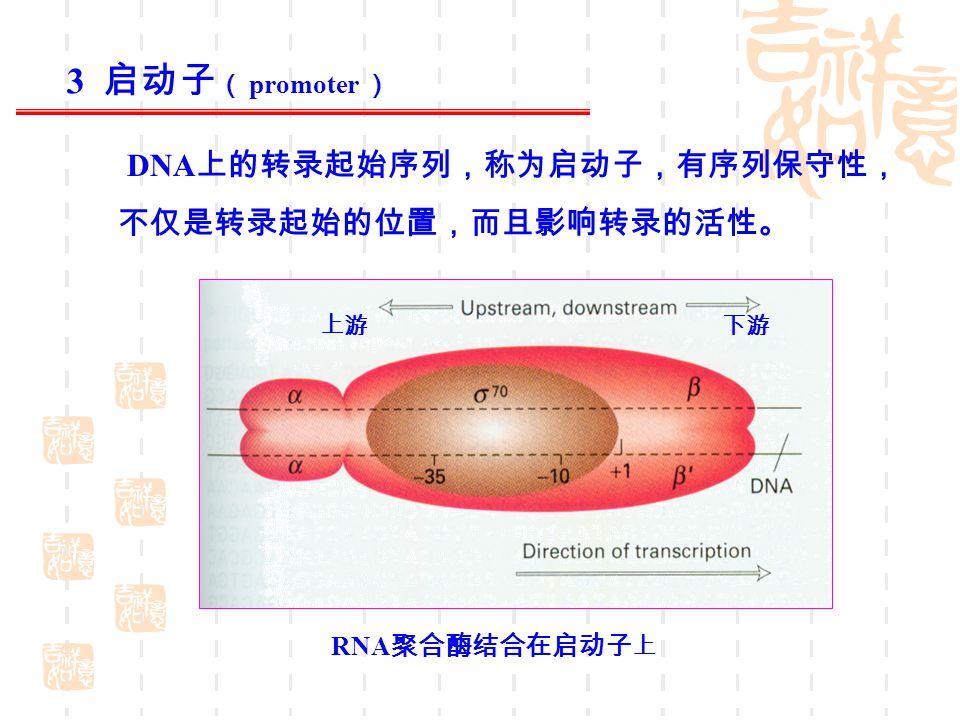DNA 上的转录起始序列,称为启动子,有序列保守性, 不仅是转录起始的位置,而且影响转录的活性。 RNA 聚合酶结合在启动子 上 上游 下游 3 启动子 ( promoter )