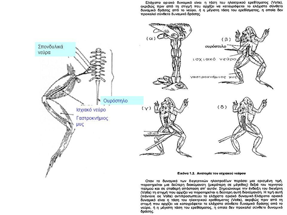 Ισχιακό νεύρο Γαστροκνήμιος μυς Ουρόστηλο Σπονδυλικά νεύρα