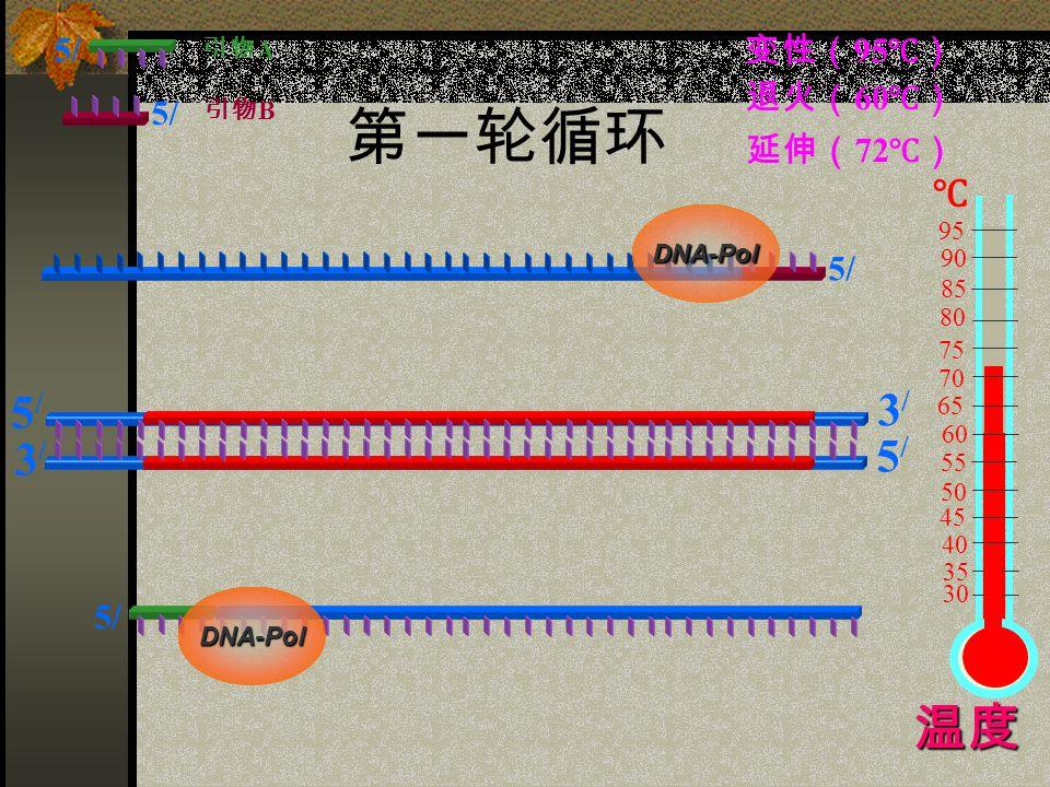 第一轮循环 5/5/ 3/3/ 3/3/ 5/5/ 5/ 引物 A 引物 B 变性( 95 ℃) 60 75 85 95 90 80 70 65 55 50 45 40 35 30 ℃ 退火( 60 ℃) 延伸( 72 ℃) DNA-Pol DNA-Pol 温度