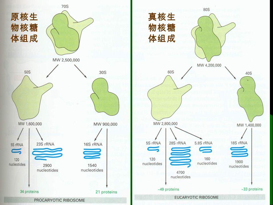蛋白质合成过程小结 肽链合成方向 N C (同位素证明) 以 mRNA 的 5 ' -3 ' 方向阅读遗传密码 该合成过程是一个耗能过程 肽链的起始需要 5ATP ,延长时只需 4ATP ,合成一个 n 肽所需能量 4×n + 1 ATP ,原核生物中,肽链的终止不 需 GTP ,则合成 n 肽所需能量 3×n + 1