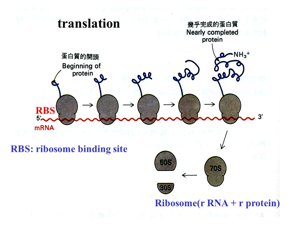 translation RBS RBS: ribosome binding site Ribosome(r RNA + r protein)