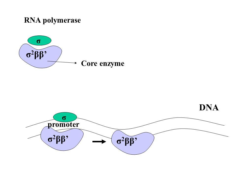RNA polymerase σ σ 2 ββ' Core enzyme σ σ 2 ββ' promoter DNA σ 2 ββ'