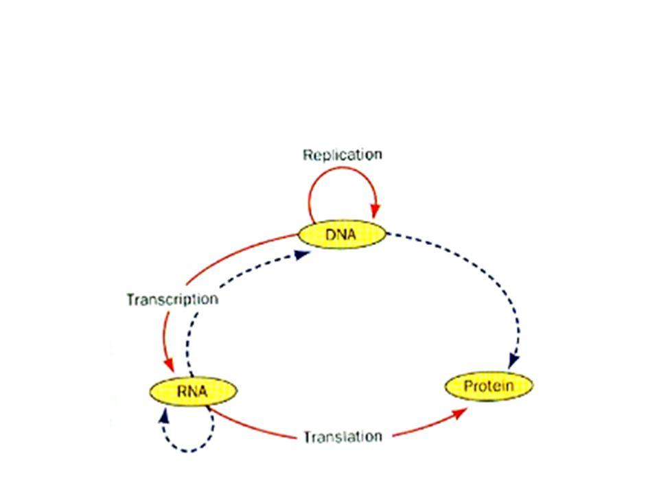 translation RBS RBS: ribosome binding site Ribosome(r RNA + r protein)