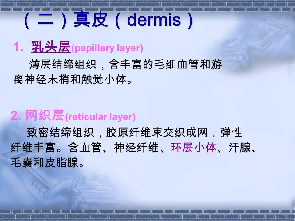 (二)真皮( dermis ) 1. 乳头层 (papillary layer) 乳头层 薄层结缔组织,含丰富的毛细血管和游 离神经末梢和触觉小体。 2. 网织层 (reticular layer) 致密结缔组织,胶原纤维束交织成网,弹性 纤维丰富。含血管、神经纤维、环层小体、汗腺、 毛囊和皮脂腺。